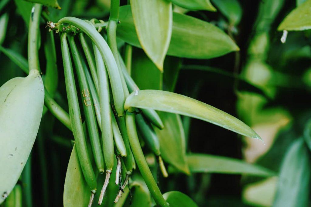 Bio Bourbon Vanille Aus Madagaskar - Vegan Protein
